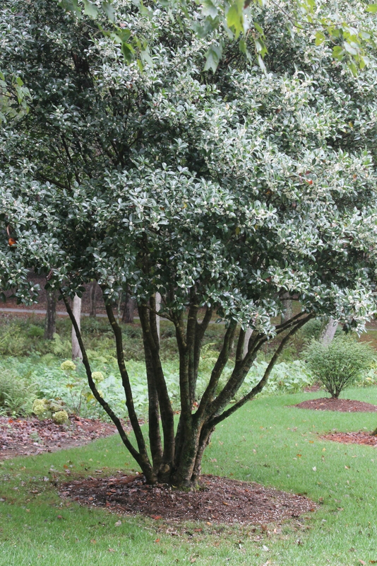 How to Prune an Olive Tree recommend