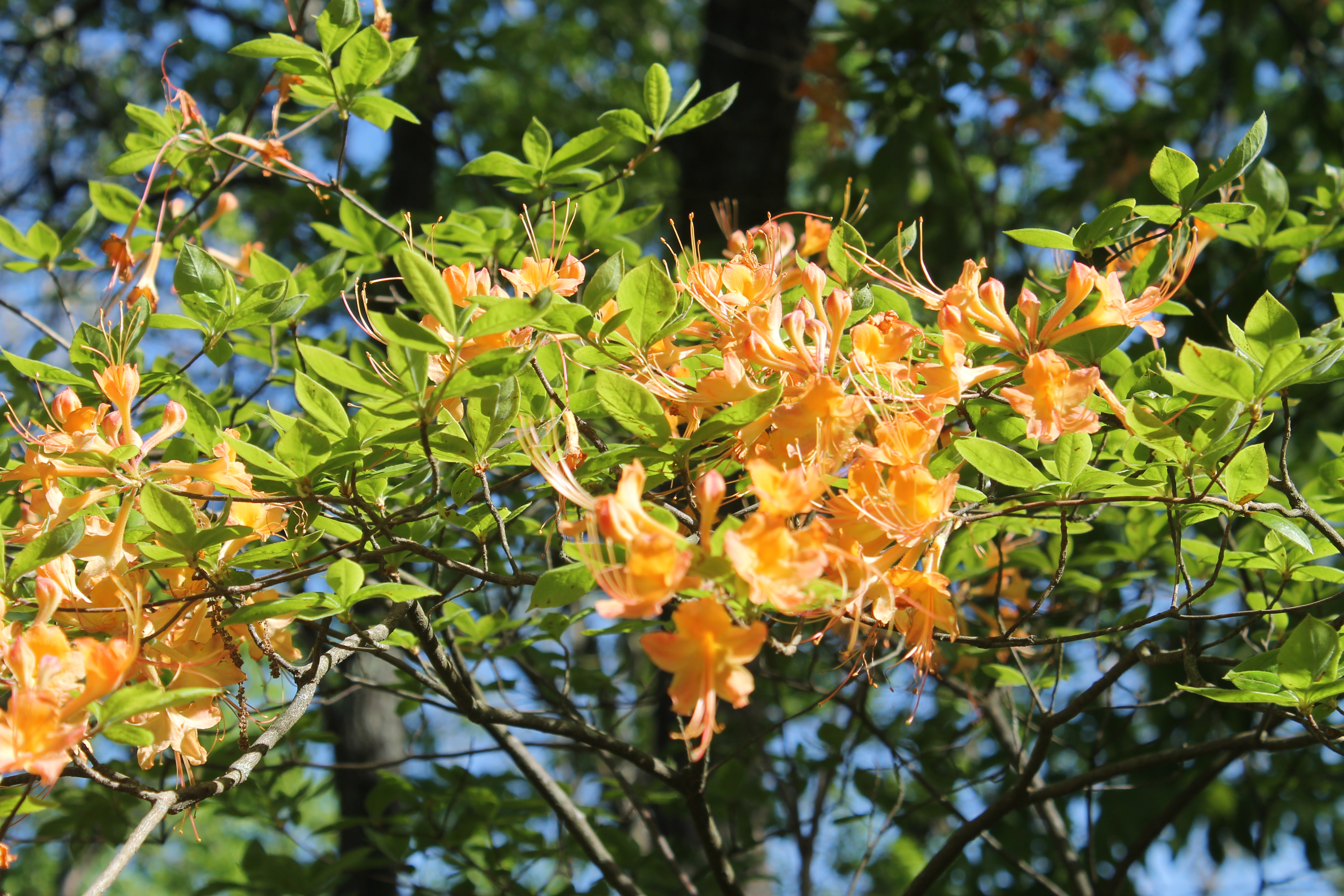 Rhododendron calendulaceum, Flame Azalea in late April.
