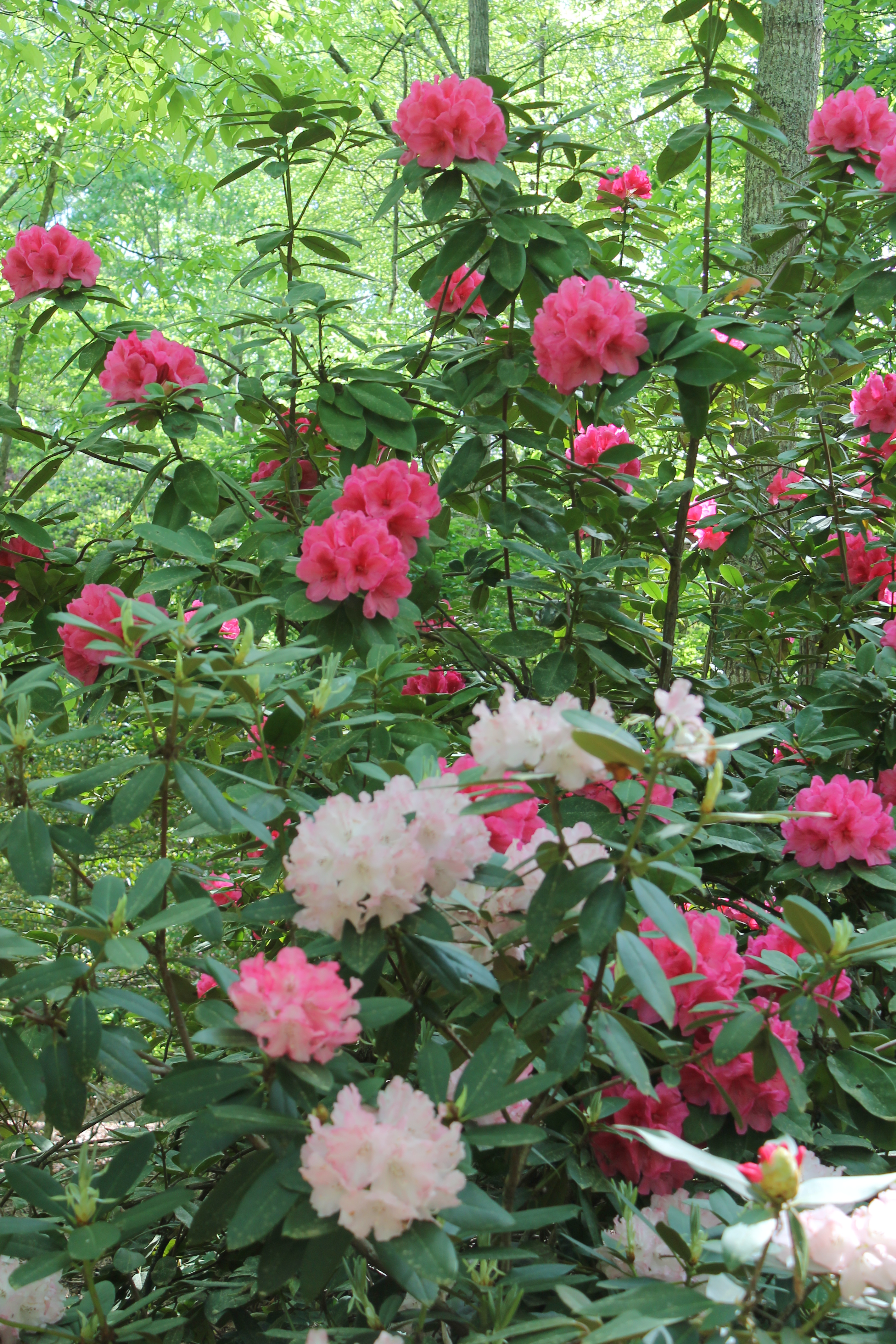 Rhododendron 'Anna Rose Whitney' in background is a good choice for Georgia gardens.