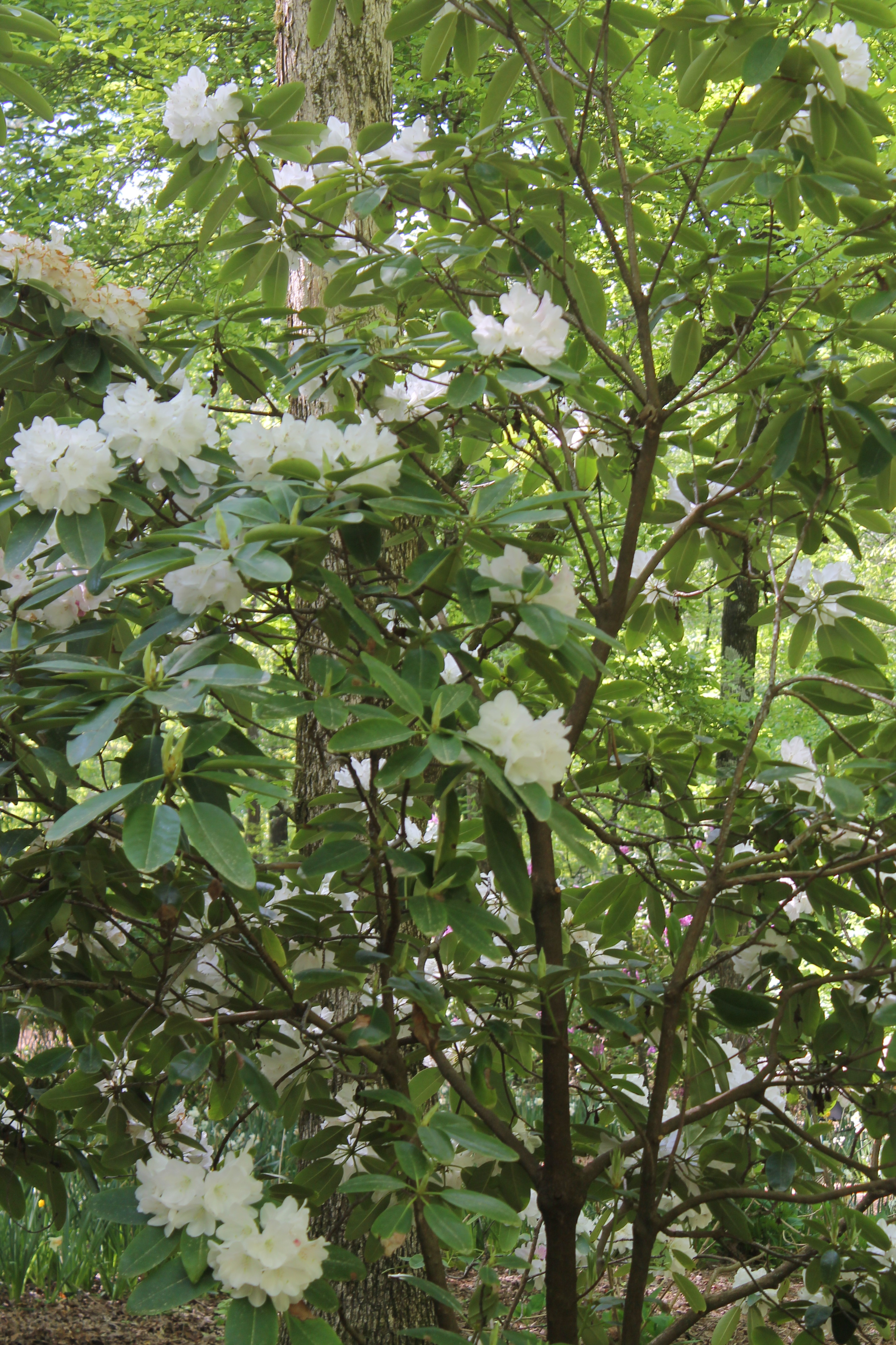 Rhododendron 'Chionoides' a hardy variety with white flowers.