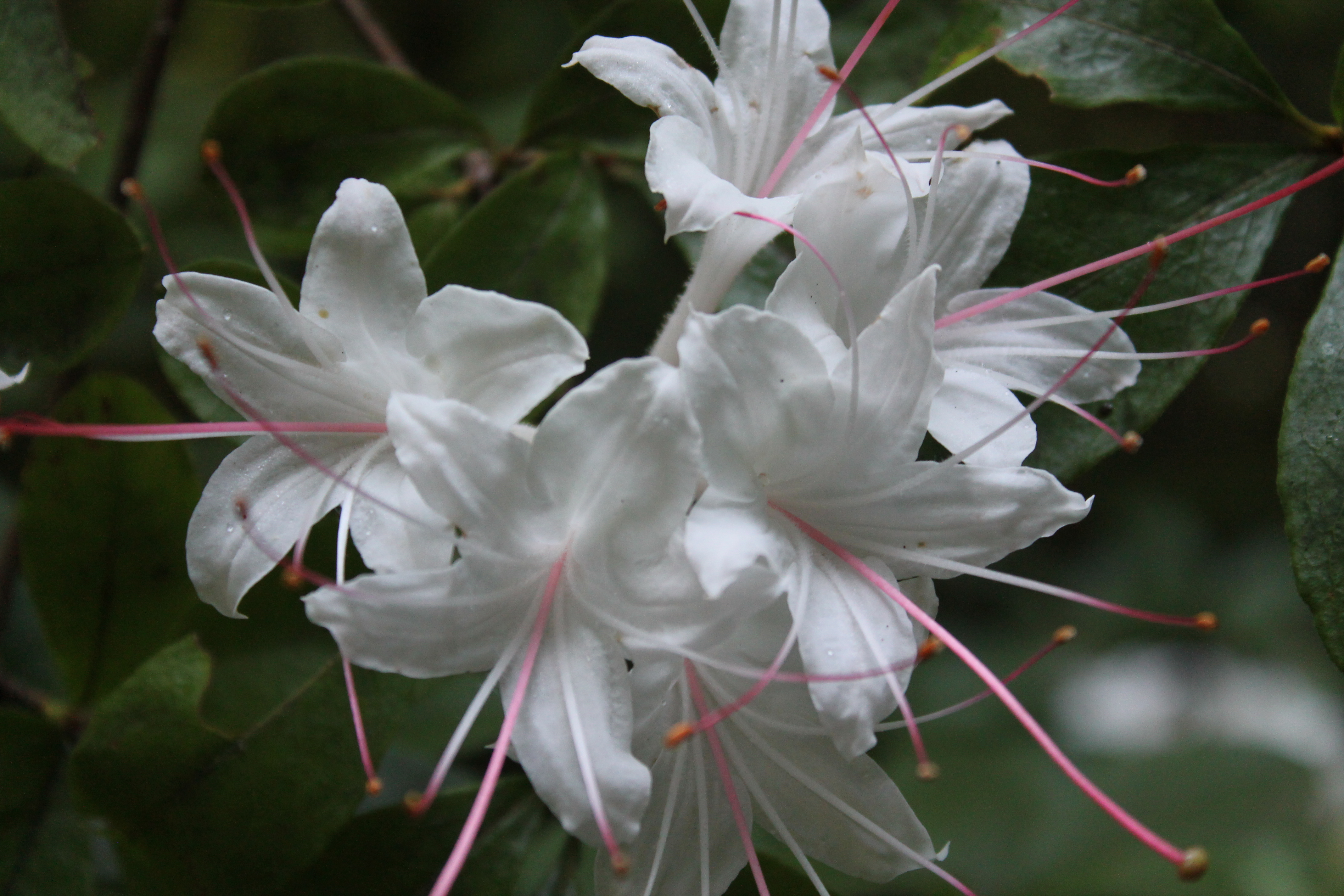 Rhododendrons and azaleas gibbs gardens rhododendron viscosum the swamp azalea offers beautiful white fragrant flowers in late spring mightylinksfo Images