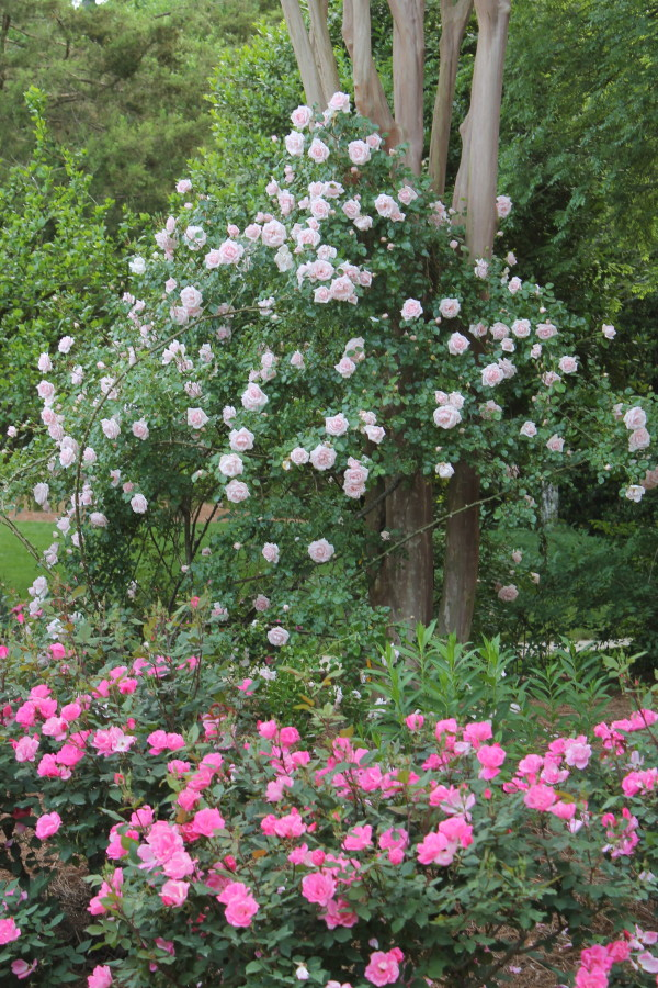Rosa 'New Dawn' uses crape myrtle as a trellis.  Pink Knockout roses bloom for months.