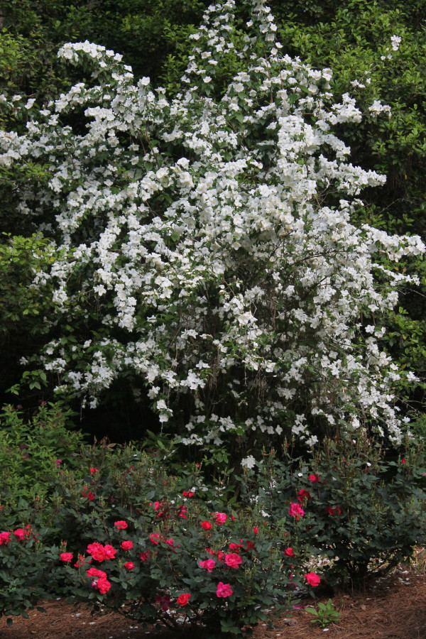 Philadelphus 'Natchez' and Knockout roses in mid-May