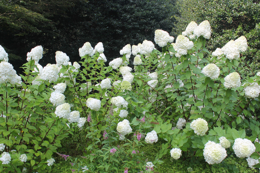 Hydrangea-paniculata-Vanilla-Strawberry-