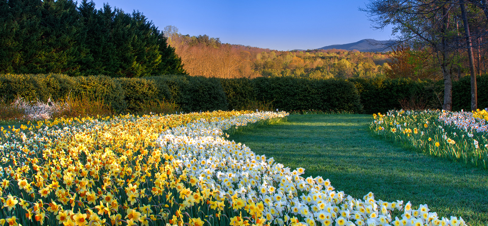 daffodils for every garden gibbs gardens manor house gardens wanstead manor house gardens opening times