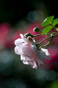 "New Dawn"" blush pink roses"